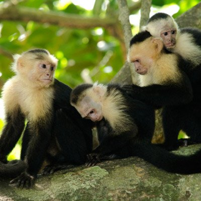 white-headed-capuchin-monkey-group-grooming-copyright-ngaire-ackerley-2015-400
